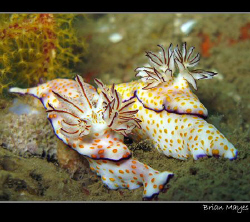 A couple of Risbecia pulchella proudly displaying their g... by Brian Mayes